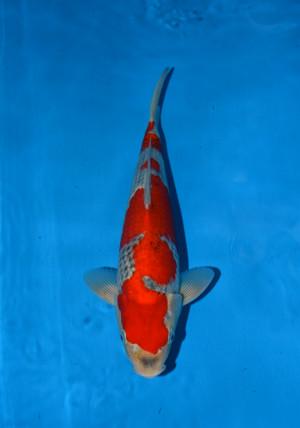 beppu goshiki 15month female 36cm_DSC_5636