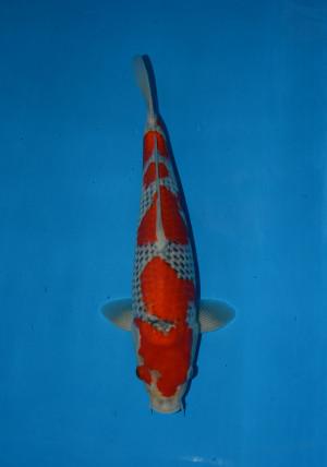 beppu goshiki 15month female 36cm_DSC_5644