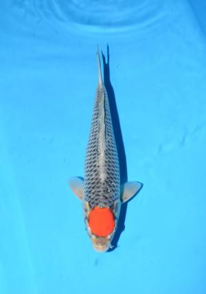 kanno t.goshiki 15month male 38cm_DSC_5664