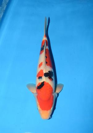 marudo sanke 15month male 45cm_DSC_5668