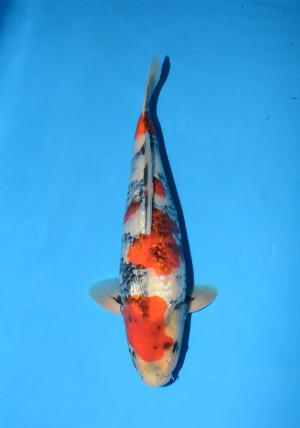 marushin g.showa 14month male 39cm_DSC_5712