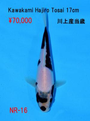 nr-16_70000yen_kawakami-hajiro-tosai-17cm