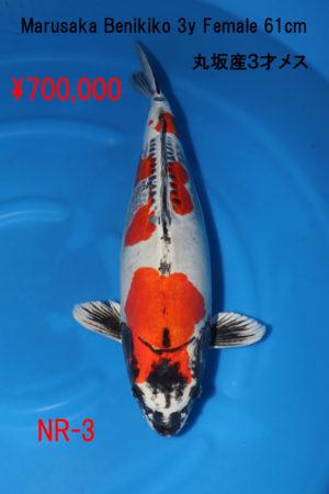 nr-3700000yen_marusaka-benikikokuryu-3y-f-61cm_-img_0570