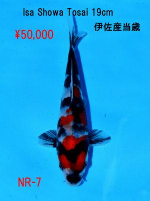 nr-7_50000yen_isa-showa-tosai-19cm
