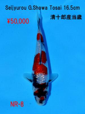 nr-8_50000yen_seijyurou-g-showa-tosai-16-5cm