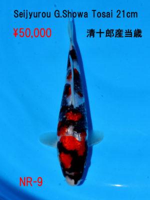 nr-9_50000yen_seijyurou-g-showa-tosai-21cm