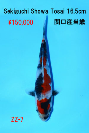 zz-7_150000yen_sekiguchi-showa-tosai-16-5cm_dsc_6131