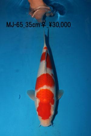 mj-65_matsue-kohaku-1y-female_30000yen_2017_04_03_8062_35cm