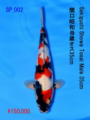 sp_002150000yen_sekiguchi-showa-tosai-male-34-5cm