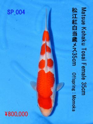 sp_004800000yen_matsue-kohaku-tosai-female-35cm_momoka