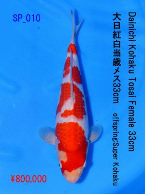 sp_010800000yen_dainichi-kohaku-tosai-female-32-5cm_super-kohaku