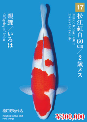 tk2017s_17_matsue_300000_kohaku_2years-old_f_60cm_iroha