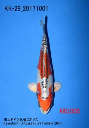 kk-29_80000yenkawakami-d-kujyaku-2y-female-28cm_dsc_0593