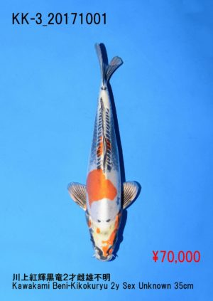 kk-3_70000yenkawakami-beni-kikokuryu-2y-sex-unknown-35cm_dsc_0363