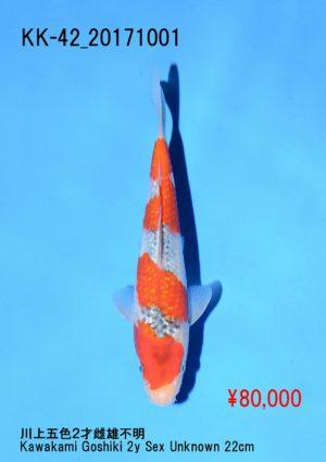 kk-42_80000yenkawakami-g-goshiki-2y-sex-unknown-22cm_dsc_0318