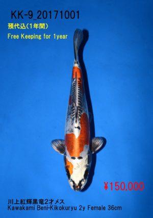 kk-9_150000yenkawakami-beni-kikokuryu-2y-female-36cm_dsc_0509