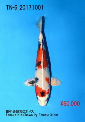 tn-6_60000yentanaka-kinshowa-2y-f-31cm_dsc_9155