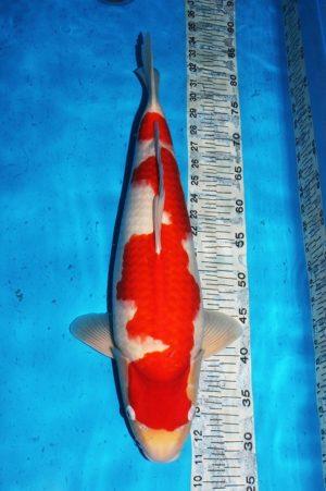 yamaguchi-kohaku-2y-female-52%e3%8e%9d